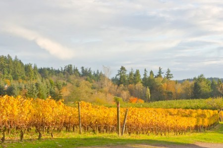 Bainbridge Vineyard, Autumn